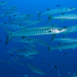 'Barracudas' from Walindi (PNG). Taken with Olympus E-20 ... by Istvan Juhasz 